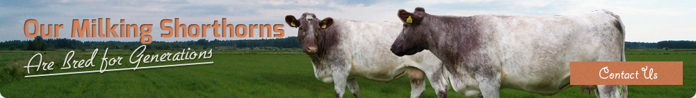 Our milking Shorthorns are bred for generations