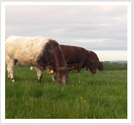 Council Members Irish Shorthorn Society