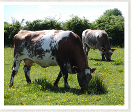 Why Shorthorn Irish Shorthorn Society
