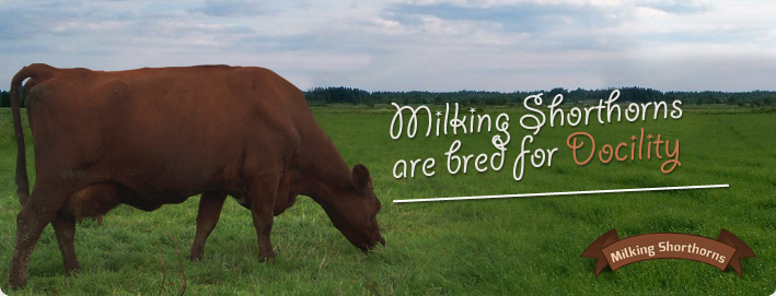 Milking Shorthorns are bred for Docility
