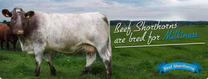 Beef Shorthorns