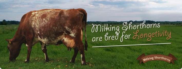 Milking Shorthorns are bred for Longetivity