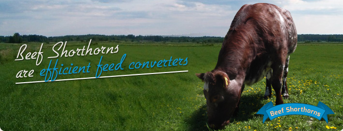 Beef Shorthorns are efficient feed converters