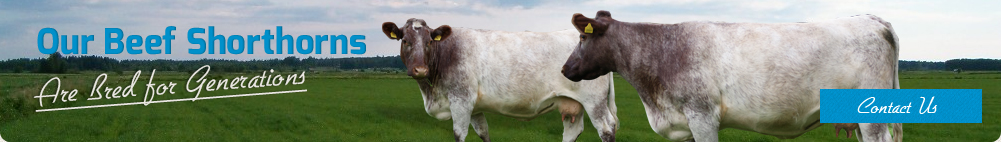 Our Beef Shorthorns are bred for generations