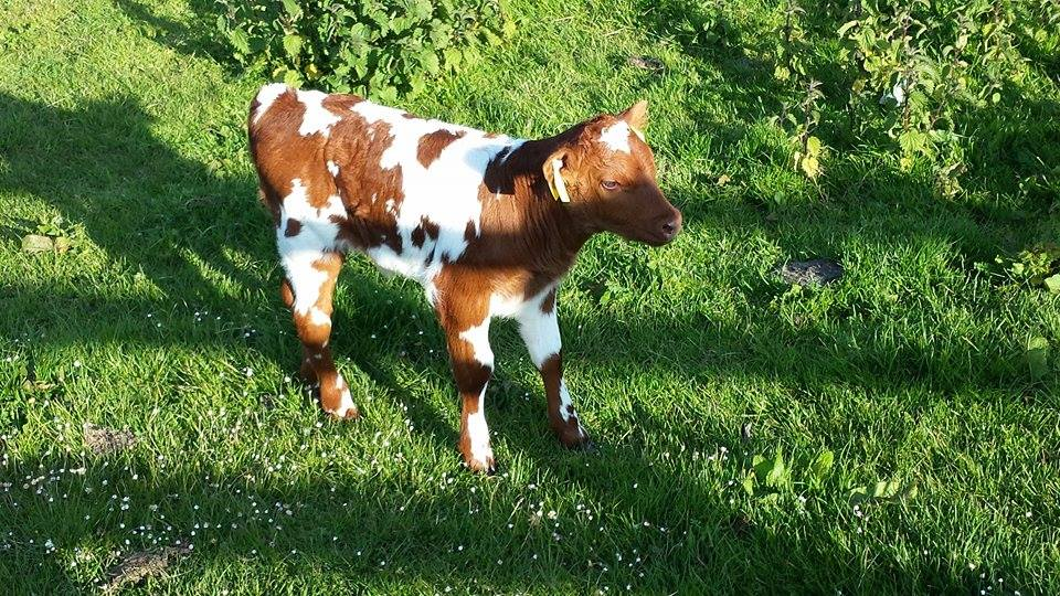 SFT  bull calf from HEX Cow born unassisted 3 days old in picture